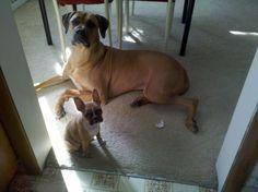Bacchus and Gerdie...Rhodesian Ridgeback and 4 month old fawn Boston Terrier