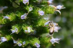 Busy little bee in the garden.  Heide, MOMA