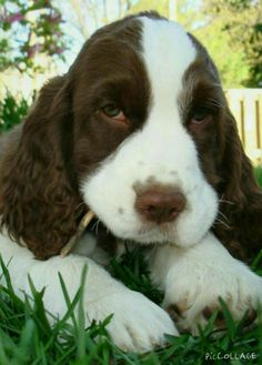 This cute English Springer Spaniel reminds me of my dog because they both look alike and eat sticks. So Adorable!!