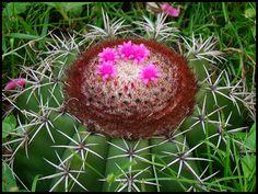 as flores do sertão - Pesquisa Google