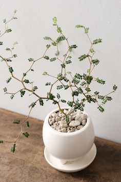 One of the prettiest miniature trees - House Plants