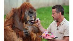El orangután reproductor macho más viejo del mundo cumple 50 años.