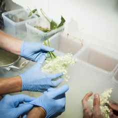 How to Make Baby Bees and Other Weird Stuff Great to Eat |  Staff at the Copenhagen restaurant Noma dip elderflower in liquid nitrogen to preserve its freshness. | Credit: Brian Finke | From Wired.com
