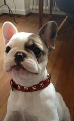 Adorable!!! I still want a french bulldog