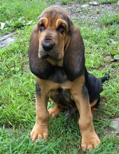 Someday I will get bloodhound number 2 and she will be this color :)