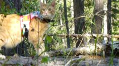Wessie the cat walks with a leash. This cat really knows how to walk on a leash!