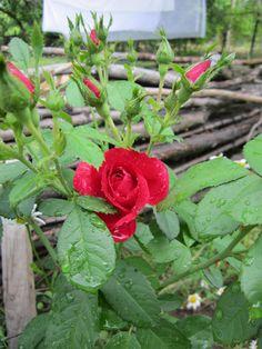 Бордюр из роз можно высадить около дорожки или садовой лестницы, вдоль площадки отдыха, беседки, «сухого ручья». Получится своеобразная мини-изгородь, только в отличие от изгороди розы в бордюре высаживаются с большими промежутками, и вы можете, если захотите, чередовать их с другими растениями, например, травянистыми многолетниками или яркими летниками.