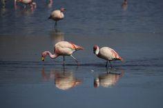 Nationalpark Evora - Flamingos an der Laguna Hedionda Bird, Animals, Santa Cruz, Bolivia, National Forest, Traveling, Animaux, Birds, Animal