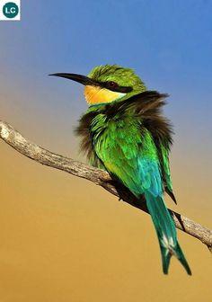 https://www.facebook.com/WonderBirdSpecies/ Swallow-tailed bee-eater (Merops hirundineus); Sub-Saharan Africa; IUCN Red List of Threatened Species 3.1 : Least Concern (LC)(Loài ít quan tâm)    Trảu đuôi én; Hạ-Sahara châu Phi; HỌ TRẢU-MEROPIDAE (Bee-eaters).