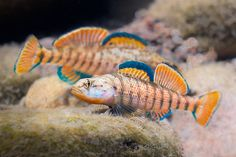 Rainbow darters.  Darters make great aquarium fish!  Keep them in cool water (got a cool basement room?), keep their water clean, well-circulated, feed with variety of frozen foods, and they are easy to keep!