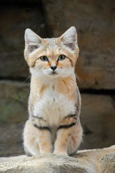 Felini/Gatto delle Sabbie(o del Deserto- The Desert Cat- Felis Margarita): Rare Animals, Animals And Pets, Funny Animals, Adorable Animals, Beautiful Cats, Animals Beautiful, Most Beautiful Cat Breeds, Felis Margarita, Sand Cat