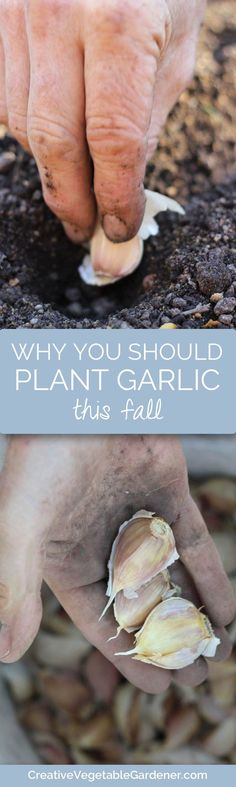 Garlic is so easy to grow in your vegetable garden. With a small amount of work you can grow all that you need for a whole year.