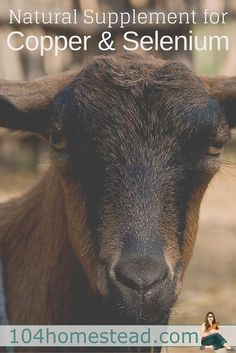 An inject-able selenium supplement and copper boluses are available, but some goats have died from toxicity. Mineral Mojo is a safer natural option.