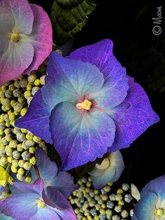 Hydrangea,,,,,MUY  BEAUTIFUL  HYDRANGEA  BIS   COLOR ,,,,,,LOVE,,¿¿¿**+