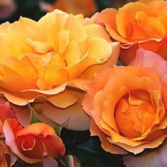 """Royal Pageant™, A colorful climber of great beauty. Its fragrant 5"""" flower (petals 25) is a lovely blend of rich apricot amber and golden yellow, produced in profusion on a sturdy continual blooming plant with rich deep-green, leathery foliage. May also be grown as a free standing shrub. A most popular color combination. Makes a good cut flower."""