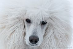 Takes my breath away... beautiful white standard poodle puppy
