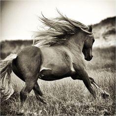 Robert Dutesco - Sable Island Wild Horses