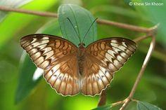 Tanaecia iapis