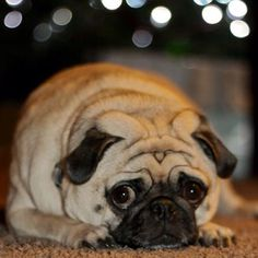 Christmas tree bokeh pug