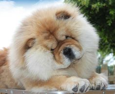 omg I just died. #chowchow