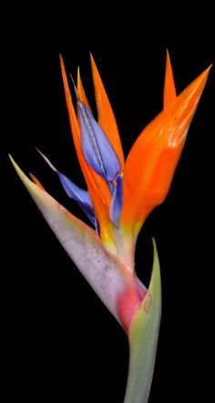 Striking Rich Bird of paradise flower, strelitzia regina