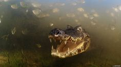 caiman - bbc wildlife photographer of the year winner: luciano candisani