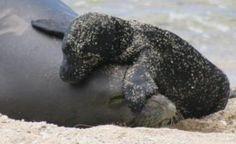 Hawaiian monk seal and pup