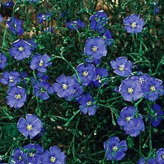Linum perenne 'Sapphire' is a dwarf form of blue flax,  with bright blue flowers held on the tips of wiry stems. It blooms in late spring and continues for several months. It does best in dry soils with excellent drainage.