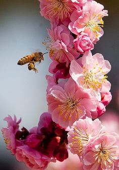 A blossom and a bee, First Day of Spring, March Pretty In Pink, Pink Flowers, Beautiful Flowers, Colorful Roses, Simply Beautiful, Dame Nature, Save The Bees, Fruit Trees, Mother Nature
