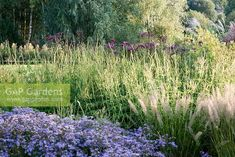 GAP Gardens - Grasses and perennials in late summer, early autumn. Plants include Aster macrophyllus 'Twilight', Calamagrostis brachytricha, and seedheads of Veronicastrum 'Fascination' - Image No: 0610759 - Photo by Annie Green-Armytage Early Autumn, Aster, Grasses, Late Summer, Garden Plants, Fascinator, Perennials, Twilight, Gardens