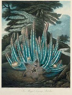 Dr Robert John Thornton (1768-1837),... The Maggot-bearing Stapelia; The Dragon Arum; American Bog-Plants; and Pitcher.