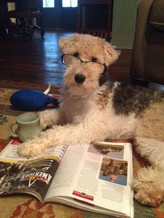 I need to get on with my work Fox Terriers, Chien Fox Terrier, Wirehaired Fox Terrier, Wire Fox Terrier, Terrier Dogs, Animal Books, My Animal, Welch Terrier, Cute Puppies