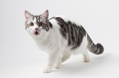 The Scottish Straight is one of the feline breeds that make up the Scottish Breed Group, along with the beloved Scottish Fold.