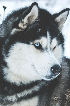 Siberian Husky | MDRNA | Instagram