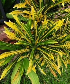 Codiaeum variegatum Lyratum  Ground color deep green. Midrib and some of the veins outlined rich yellow and tip of leaves splashed yellow.  Long, narrow tri-lobed form, green and bright yellow, never red.