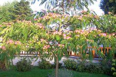 Albizia julibrissin (aka Mimosa or Silk Tree) - CreatorsPalette Albizia Julibrissin, Silk Tree, Horticulture, Photo Galleries, Nursery, Garden, Plants, Trees, Park