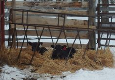 I created this little calf 'house pen' for my babies to sleep in without having to share it with the big cows. They really enjoyed themselves. It is amazing how tough these little guys are in MN winters and springs. I start calving usually around the first of April.