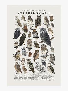 strigiformes.jpg
