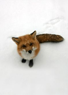 my lovely pet fox! Seriously doing the research to provide a loving family and home for a lovely fox. Cute Creatures, Beautiful Creatures, Animals Beautiful, Fox In Snow, Baby Animals, Cute Animals, In This World, Fabulous Fox, Pet Fox