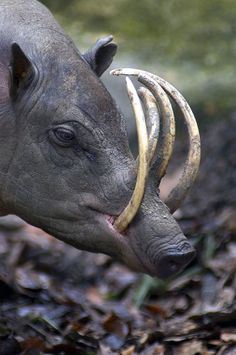 Babirusa- This animal is also called as pig-deer. They are only found in the Indonesian islands of Togian, Buru, Sula, and Sulawesi.