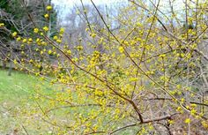 HAVING COMPLAINED in various spaces including here about Forsythia (except the lesser-grown forms with gold or variegated leaves, which are [read more…]