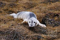 Wayward seal pup in Maine on seaweed.