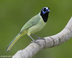 Green Jay...Article on Gulf Coast and South Texas Bird Photography - Nature Photography by Heather Forcier