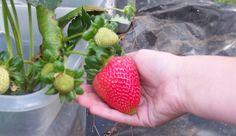 ¿A quién no le gustan las fresas? Es una fruta que normalmente gusta a todo el mundo. De una manera u otra la fresa es probada por todo el mundo, excepto p
