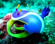 nudibranch. It attracts predators to its but with all the fluffy decorations, that way if they bite it, it won't die.