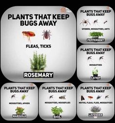 Plants that keep bugs away Dream Garden, Garden Tips, Herb Garden, Garden Projects, Home And Garden, Vegetable Garden, Lawn And Garden, Indoor Garden, Garden Ideas