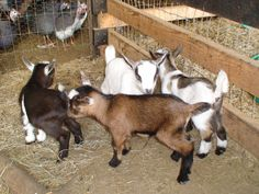 Maybe my ladies need some hairy companions.  The Nigerian Dwarf Goats only get two feet tall and the does can produce up to two quarts of milk a day.
