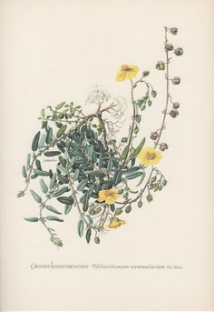 Vintage Botanical Print Helianthemum by AntiquePrintGarden on Etsy