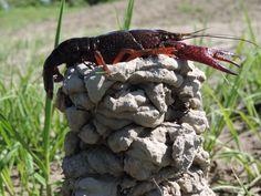 Crawfish Mound....built by:  A Louisiana Mud Bug!