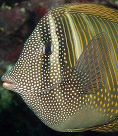 Zebrasoma Surgeonfish by Anel Van Veelen Life Under The Sea, Under The Ocean, Sea And Ocean, Underwater Creatures, Underwater Life, Ocean Creatures, Colorful Fish, Tropical Fish, Beautiful Sea Creatures